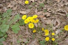 Τα λουλούδια Coltsfoot ` s μεταξύ του περασμένου χρόνου ` s μαράθηκαν τα δρύινα φύλλα Στοκ Εικόνα