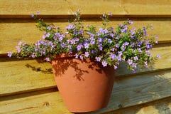 Τα λουλούδια foget-εμένα-όχι σε ένα δοχείο Στοκ Φωτογραφίες