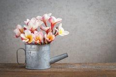 Τα λουλούδια Frangipani στο μίνι πότισμα μετάλλων μπορούν Στοκ εικόνα με δικαίωμα ελεύθερης χρήσης