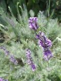 Τα λουλούδια lavender της κινηματογράφησης σε πρώτο πλάνο Στοκ Φωτογραφία