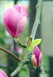 Τα λουλούδια Magnolia καλλιεργούν την άνοιξη Στοκ Φωτογραφία
