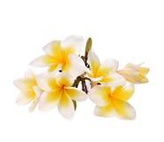 Τα λουλούδια Plumeria και frangipani απομόνωσαν το άσπρο υπόβαθρο και Στοκ Εικόνες