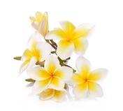 Τα λουλούδια Plumeria και frangipani απομόνωσαν το άσπρο υπόβαθρο και Στοκ Εικόνα