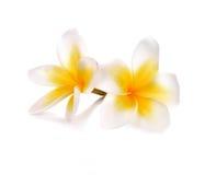 Τα λουλούδια Plumeria και frangipani απομόνωσαν το άσπρο υπόβαθρο Στοκ Φωτογραφίες