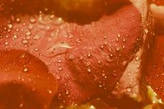 τα πέταλα απελευθερώσεων κόκκινα αυξήθηκαν ύδωρ Στοκ φωτογραφία με δικαίωμα ελεύθερης χρήσης
