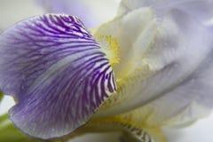 Τα πέταλα της Iris κλείνουν επάνω Στοκ φωτογραφία με δικαίωμα ελεύθερης χρήσης