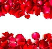 τα πέταλα ανασκόπησης κόκκινα αυξήθηκαν λευκό Στοκ εικόνα με δικαίωμα ελεύθερης χρήσης