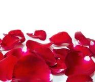 τα πέταλα ανασκόπησης κόκκινα αυξήθηκαν λευκό Στοκ Εικόνες