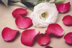 Τα πέταλα αυξήθηκαν και άσπρο λουλούδι στη μαλακή εστίαση Στοκ φωτογραφία με δικαίωμα ελεύθερης χρήσης