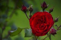 Τα πέταλα βελούδου ενός κοκκίνου αυξήθηκαν λουλούδι μεταξύ των οφθαλμών Στοκ φωτογραφία με δικαίωμα ελεύθερης χρήσης