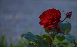 Τα πέταλα βελούδου ενός λουλουδιού ενός ερυθρού αυξήθηκαν σε μια ακτίνα του ήλιου Στοκ εικόνα με δικαίωμα ελεύθερης χρήσης