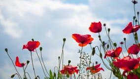 Τα παιχνίδια αέρα ήπια με τα απίστευτα όμορφα λουλούδια παπαρουνών σε έναν τομέα στον κοντινό του Μόναχου στη Βαυαρία Γερμανία βα απόθεμα βίντεο