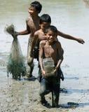 Τα παιδιά πιάνουν τα ψάρια στον τομέα ορυζώνα Στοκ Φωτογραφίες
