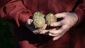 Τα παλαιά χέρια ατόμων που κρατούν τις πατάτες για τη φύτευση φιλμ μικρού μήκους