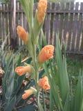 Τα πανέμορφα λουλούδια ακμάζουν σχεδόν Το καλοκαίρι έφθασε στη Σερβία Στοκ Φωτογραφίες