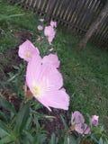 Τα πανέμορφα λουλούδια ακμάζουν Το καλοκαίρι έφθασε στη Σερβία Στοκ εικόνα με δικαίωμα ελεύθερης χρήσης