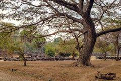 Τα παλαιά δέντρα του ναού Angkor Wat, Siem συγκεντρώνουν, Καμπότζη Στοκ Εικόνα