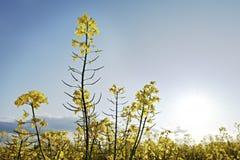 τα πεδία βιάζουν κίτρινο στοκ φωτογραφία με δικαίωμα ελεύθερης χρήσης
