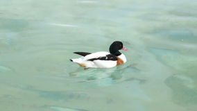 Τα περισσότερα υδρόβια πουλιά καθαρίζουν τα φτερά στο φυσικό πάρκο λιμνών απόθεμα βίντεο