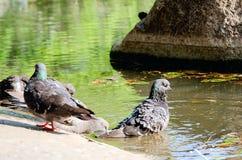 Τα περιστέρια λούζουν στο νερό μια θερινή ημέρα στοκ φωτογραφία με δικαίωμα ελεύθερης χρήσης