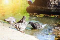 Τα περιστέρια λούζουν στο νερό μια θερινή ημέρα στοκ εικόνες