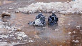 Τα περιστέρια λούζουν στο βρώμικο κρύο νερό απόθεμα βίντεο