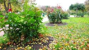 Τα πεσμένα μήλα βρίσκονται στο έδαφος κοντά στους θάμνους που ταλαντεύονται στον αέρα το φθινόπωρο απόθεμα βίντεο
