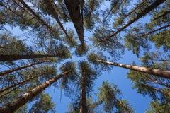 Τα πεύκα αυξάνονται στον ουρανό Στοκ Φωτογραφία