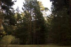 Τα πεύκα και οι πέτρες στο μυστήριο χρωμάτισαν το δάσος φθινοπώρου Στοκ φωτογραφία με δικαίωμα ελεύθερης χρήσης