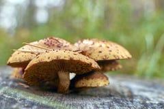 Τα πορτοκαλιά άγρια μανιτάρια Armillaria αυξάνονται Στοκ εικόνες με δικαίωμα ελεύθερης χρήσης