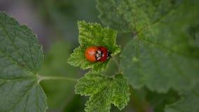 Τα πορτοκαλιά και κόκκινα ladybugs ζευγαρώνουν και συνεδρίαση στο φύλλο των σταφίδων στον αέρα, τοπ άποψη απόθεμα βίντεο