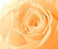 τα πορτοκαλιά πέταλα αυξήθηκαν Στοκ Εικόνες