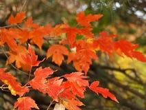 Τα πορτοκαλιά φύλλα σφενδάμου είναι δονούμενα το φθινόπωρο στοκ εικόνα με δικαίωμα ελεύθερης χρήσης