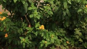 Τα πορτοκαλιά λουλούδια Lantana κοντά στο σπίτι Χλωρίδα απόθεμα βίντεο