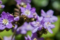 Τα πορφυρά λουλούδια κλείνουν επάνω των εγκαταστάσεων που ανθίζουν με να αιωρηθούν μελισσών μελιού στοκ εικόνες με δικαίωμα ελεύθερης χρήσης