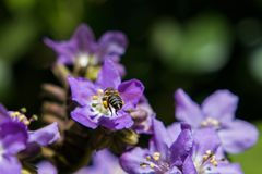 Τα πορφυρά λουλούδια κλείνουν επάνω των εγκαταστάσεων που ανθίζουν με να αιωρηθούν μελισσών μελιού στοκ εικόνες
