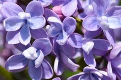 Τα πορφυρά λουλούδια μιας ιώδους άνθισης θάμνων την άνοιξη, κλείνουν επάνω στοκ εικόνα