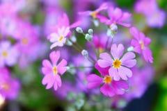 Τα πορφυρά λουλούδια χρώματος είναι ανθίζοντας στον κήπο Στοκ εικόνα με δικαίωμα ελεύθερης χρήσης