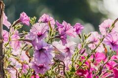 Τα πορφυρά λουλούδια πετουνιών αυξάνονται στο α Στοκ Φωτογραφίες
