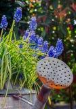 Τα πορφυρά λουλούδια υάκινθων σταφυλιών στο πότισμα μπορούν Στοκ Φωτογραφίες