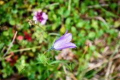 Τα πορφυρά λουλούδια brittoniana ruellia λουλουδιών κουδουνιών είναι ανθίζοντας μέσα Στοκ Φωτογραφία