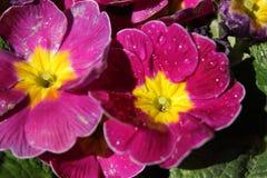 Τα πορφυρά σε δοχείο λουλούδια με τη δροσιά Στοκ φωτογραφίες με δικαίωμα ελεύθερης χρήσης