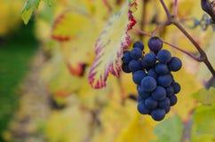 Τα πορφυρά σταφύλια και το ζωηρόχρωμο κρασί βγάζουν φύλλα στοκ φωτογραφίες