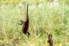 Τα πουλιά ήταν πιασμένη αλιεία με δίχτυα Στοκ Φωτογραφία