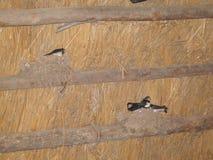 Τα πουλιά καταπίνουν στη φωλιά Στοκ Εικόνες