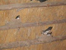 Τα πουλιά καταπίνουν στη φωλιά Στοκ εικόνα με δικαίωμα ελεύθερης χρήσης