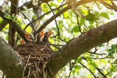 Τα πουλιά μωρών σε μια φωλιά σε ένα δέντρο διακλαδίζονται κοντά επάνω στον ήλιο στοκ εικόνες με δικαίωμα ελεύθερης χρήσης