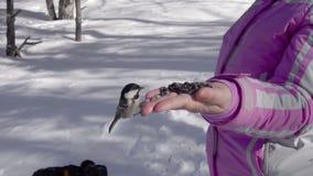 Τα πουλιά στο χέρι γυναικών ` s τρώνε τους σπόρους απόθεμα βίντεο