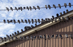 τα πουλιά απομόνωσαν το άσπρο καλώδιο Στοκ Φωτογραφίες