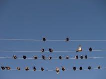 Τα πουλιά κάθονται στα καλώδια Στοκ Φωτογραφία